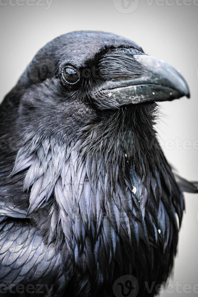 Close-up of a black Common Raven Corvus Corax photo