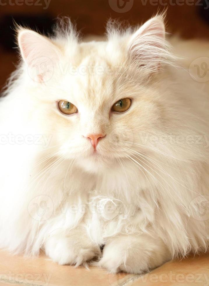 Adorable White and Apricot Persian Ragdoll Cat photo