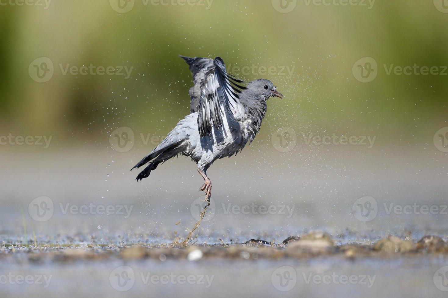 paloma común, columba oenas foto