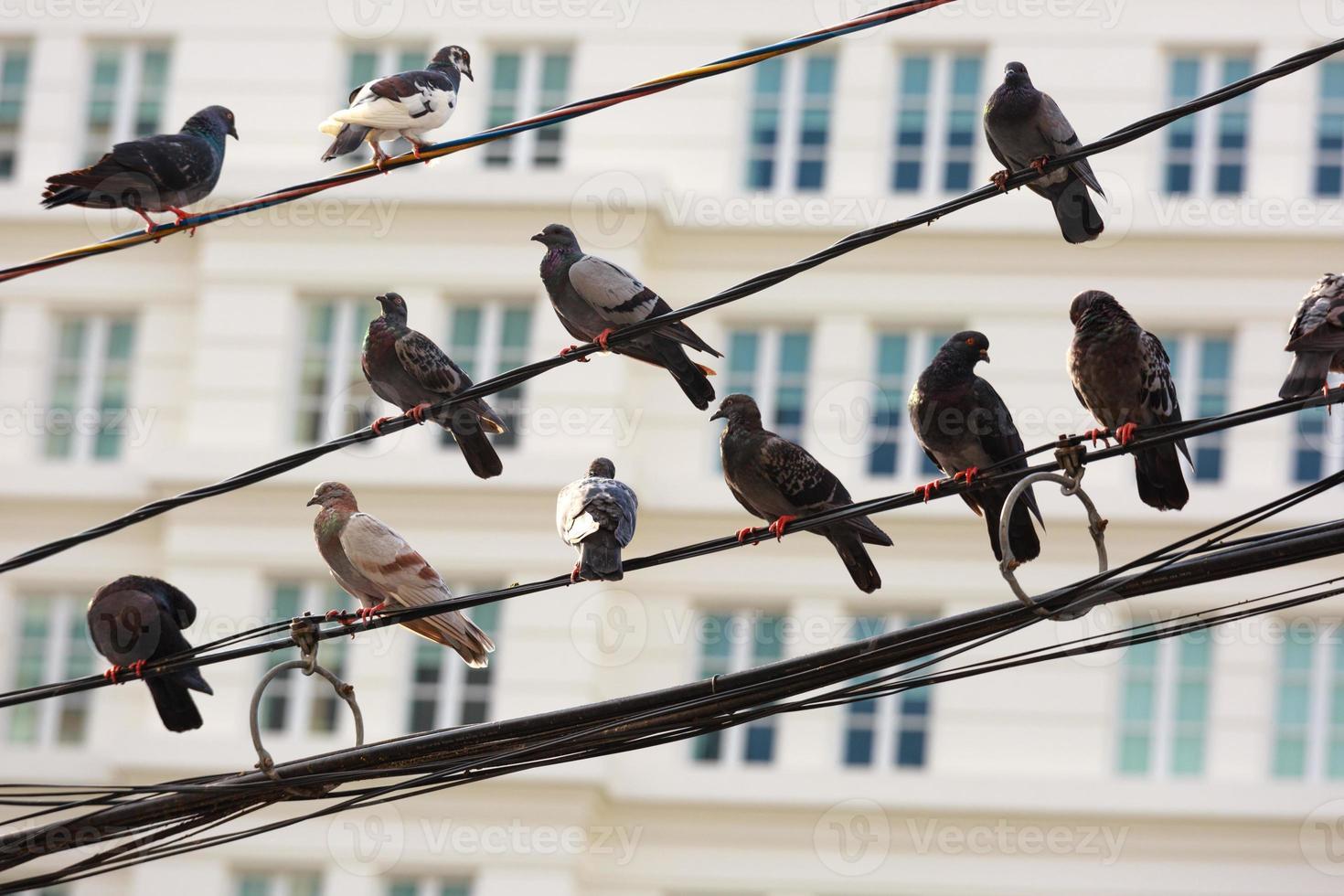 palomas encaramadas en la línea de alimentación foto