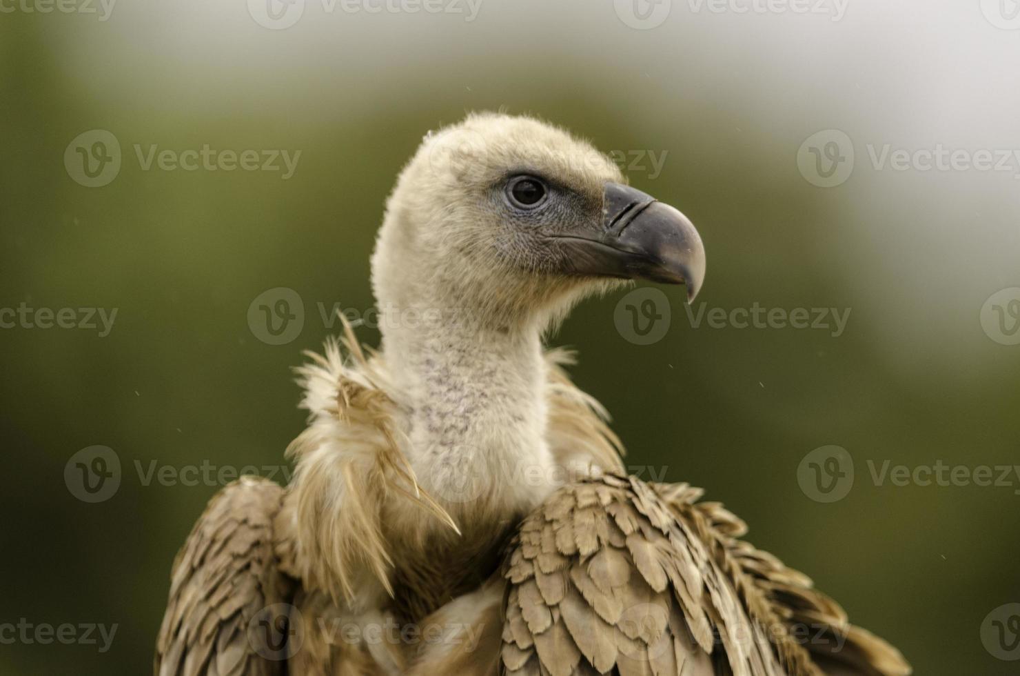Closeup of a vulture head. photo