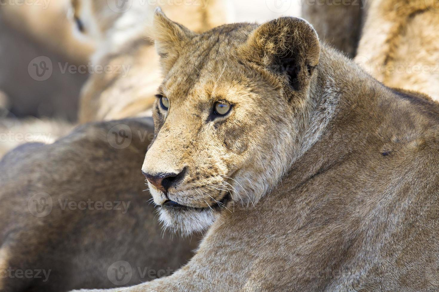 Lion rests together with the pride photo