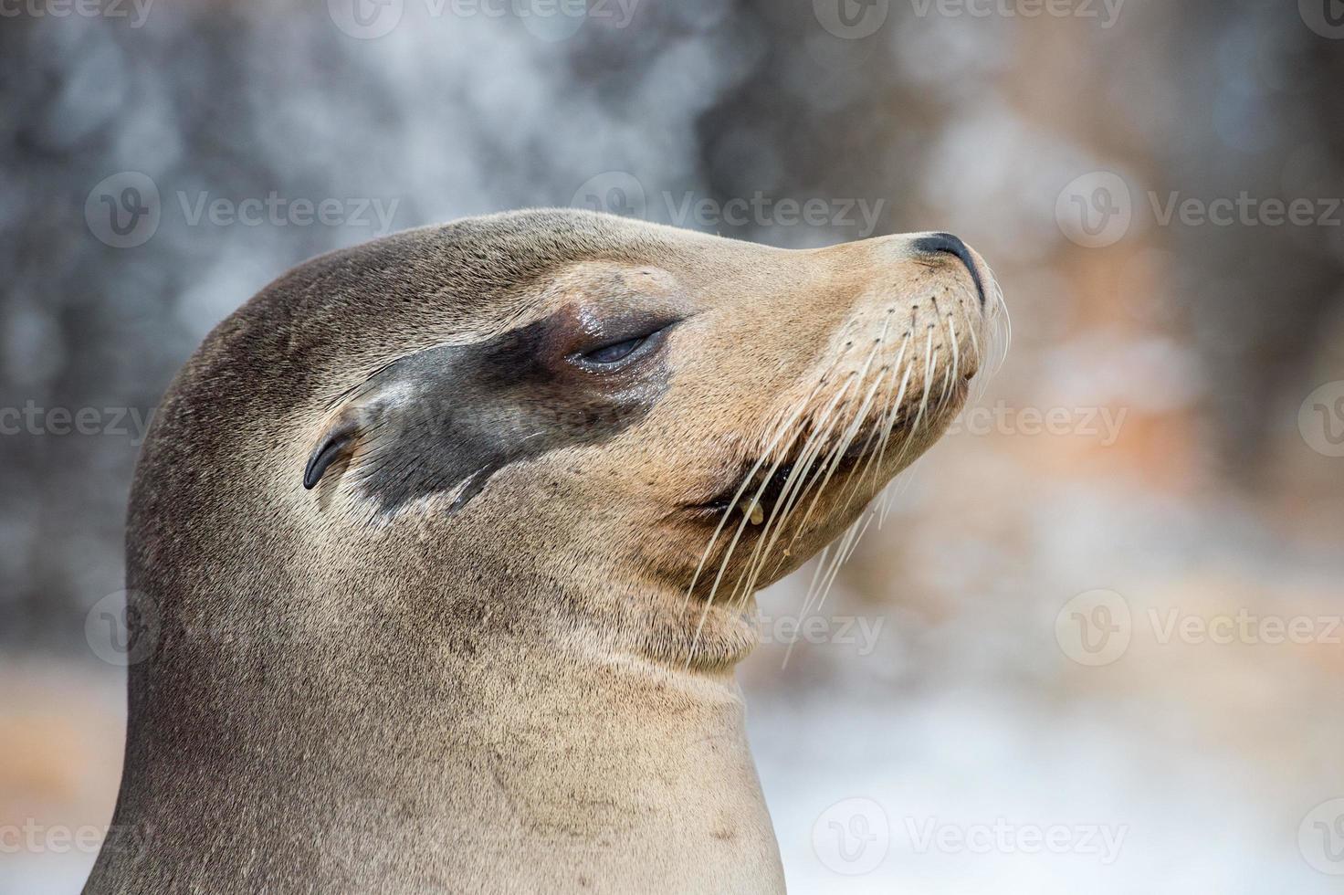 californian sea lion close up portrait photo