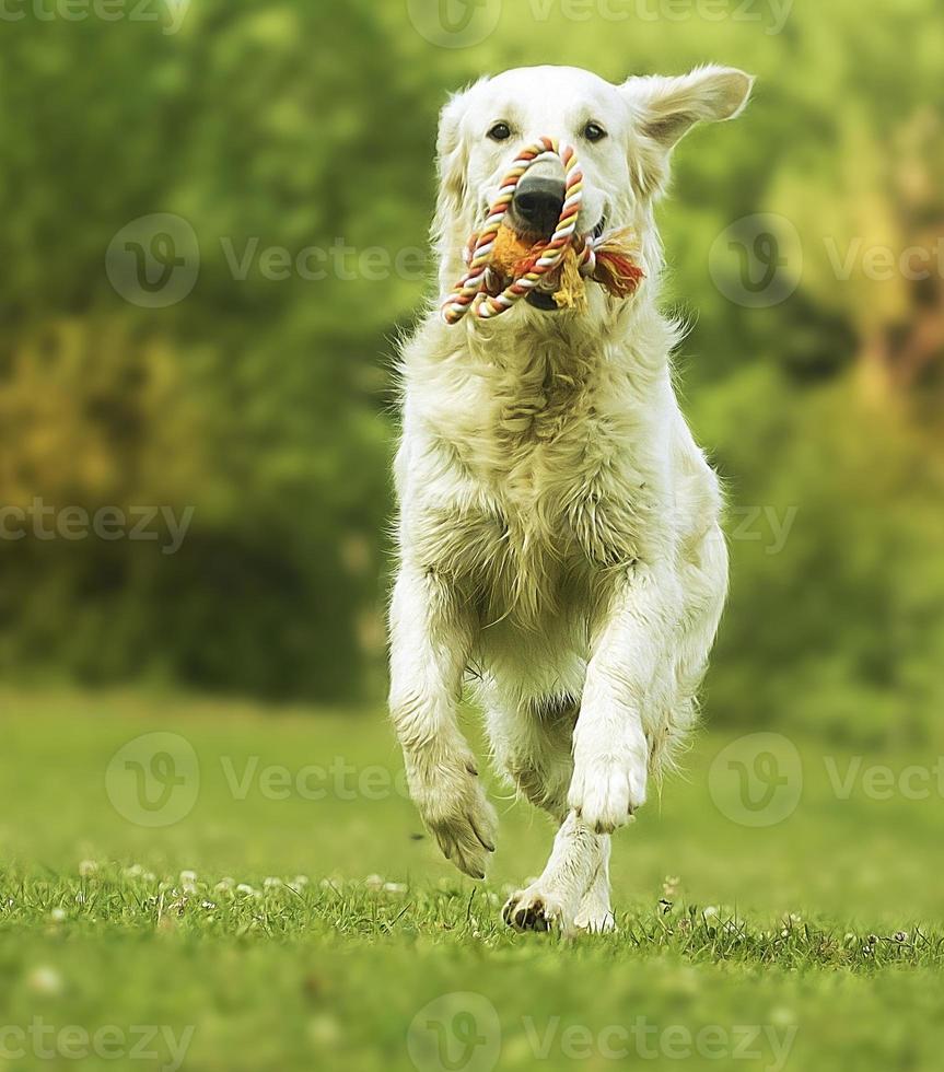 divertido joven hermoso golden retriever perro cachorro corriendo foto