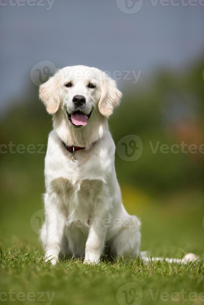 Happy and smiling Golden Retriever dog photo