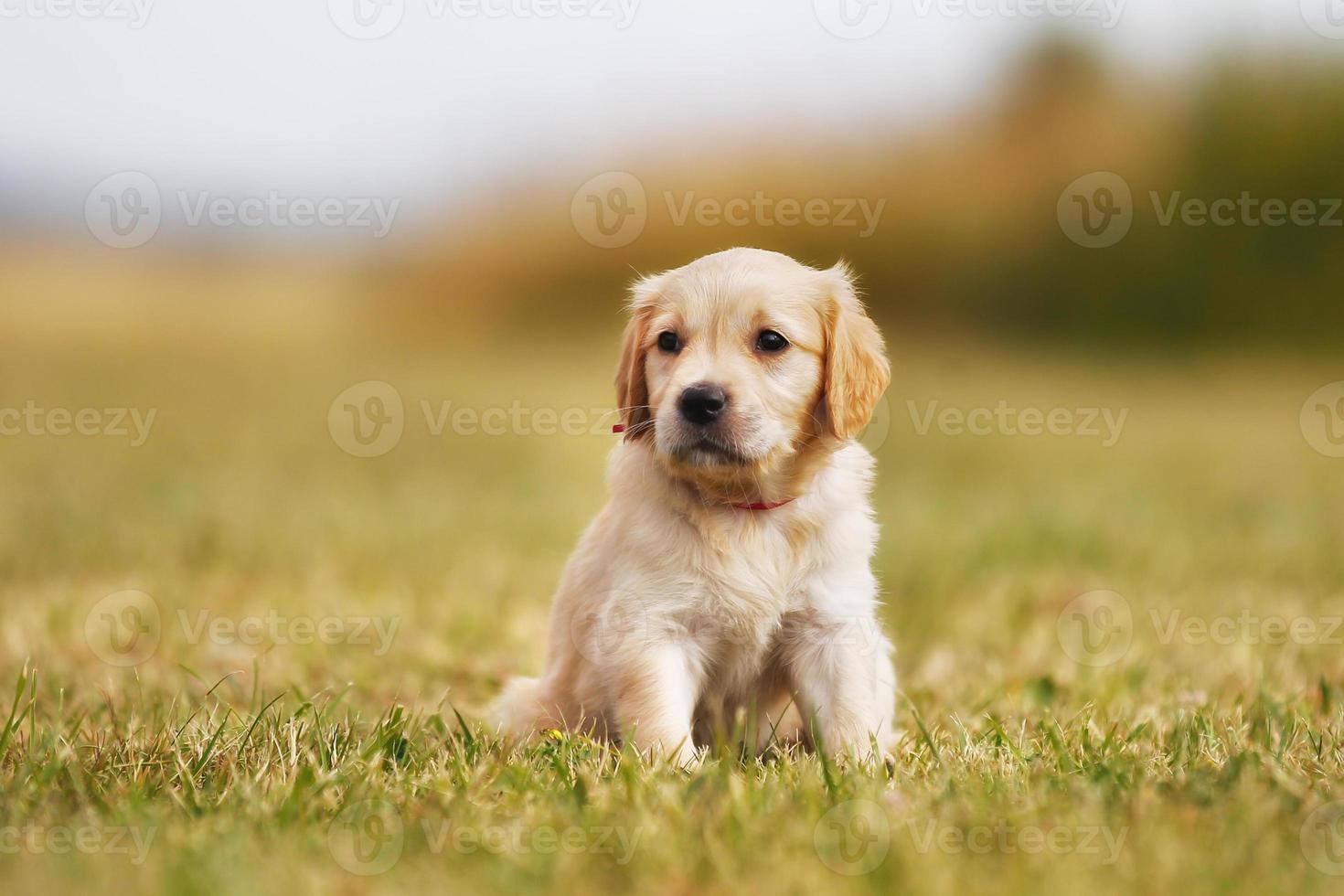Golden retriever puppy standing in the sun photo