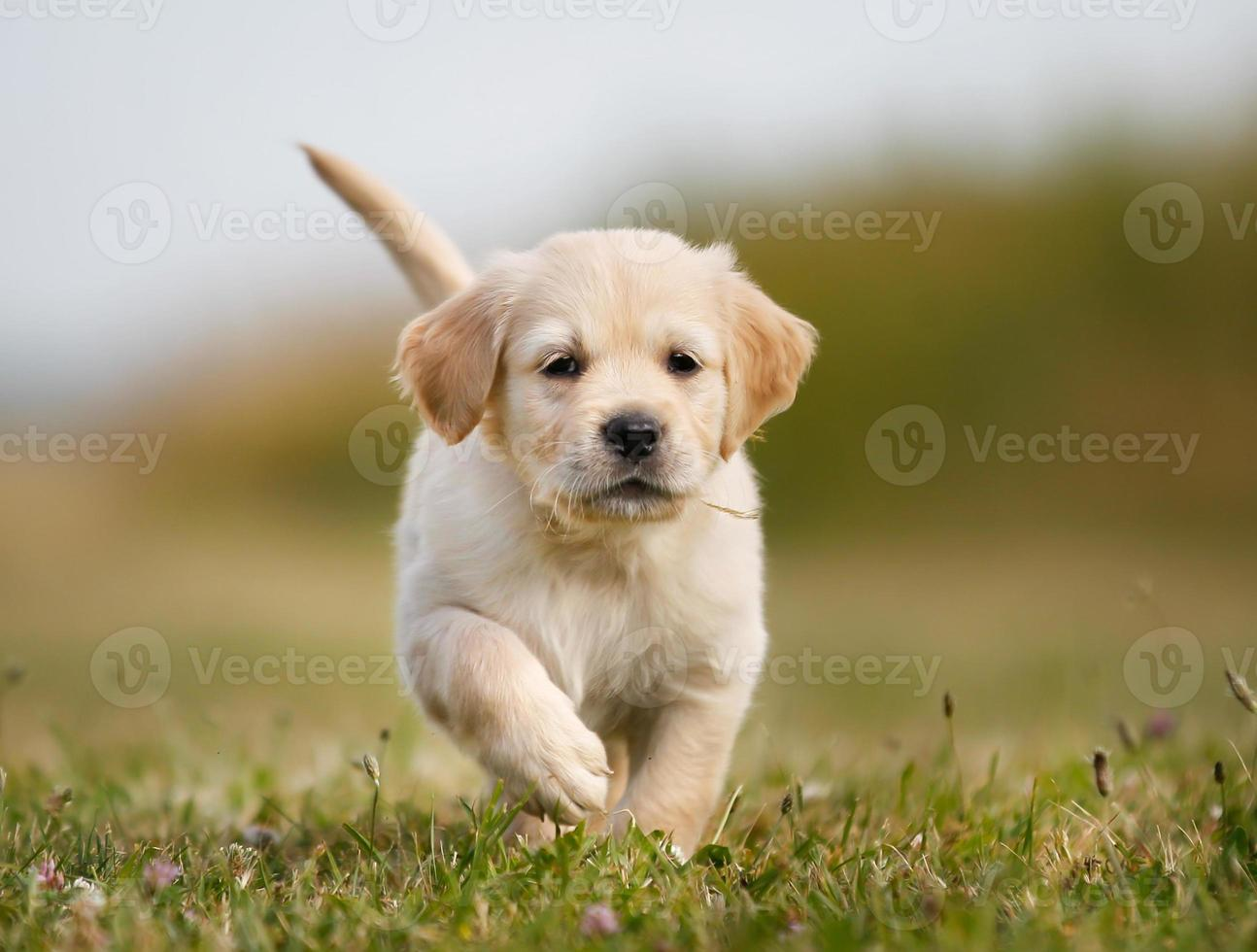 Golden retriever puppy running towards camera photo