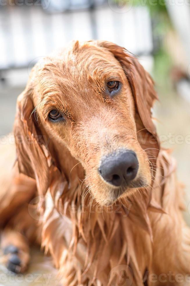 golden retriever se baña foto