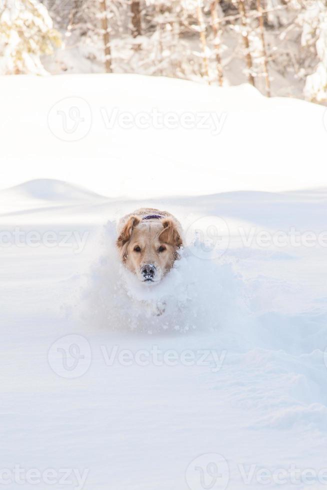 labrador retriever hond buiten spelen in de sneeuw in de winter foto