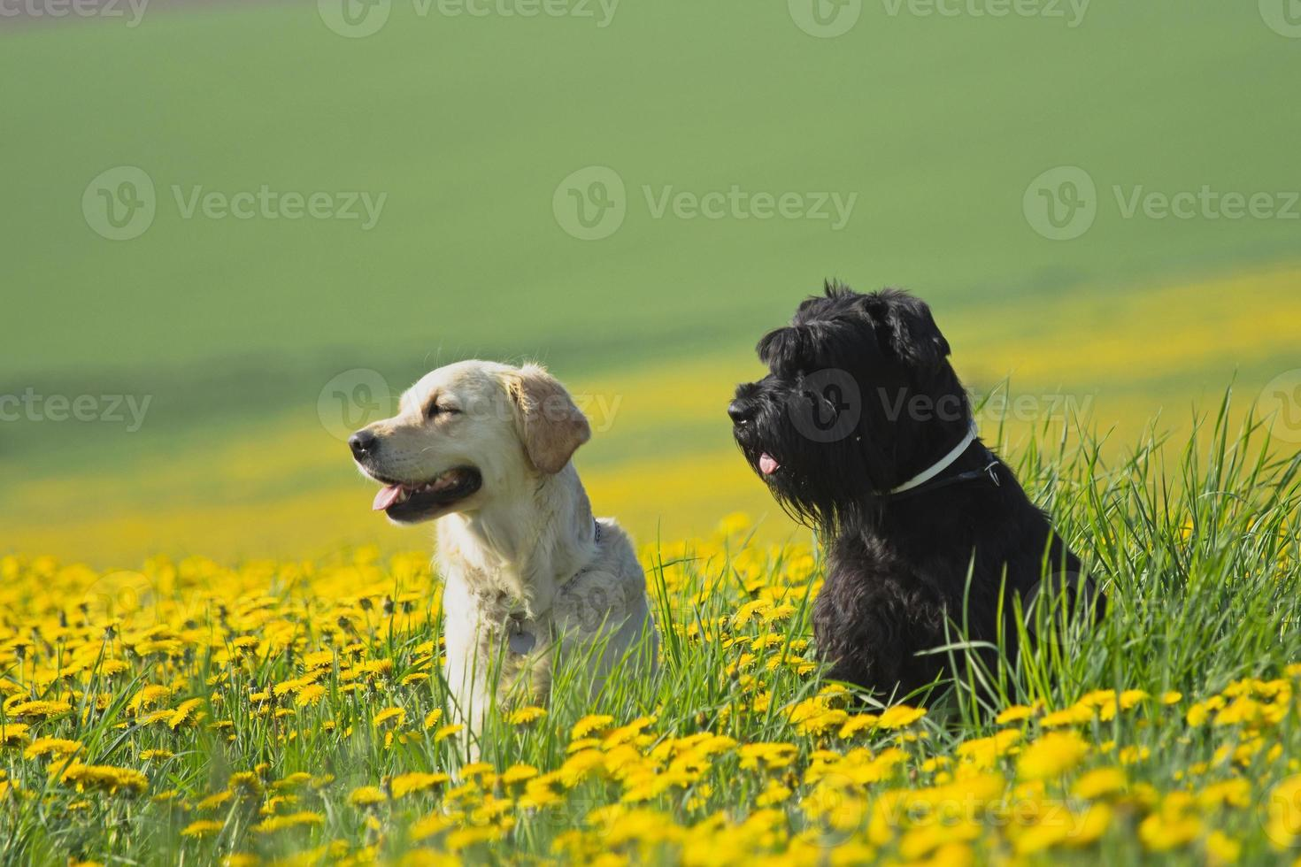 Golden Retriever and Big Black Schnauzer in dandelions meadow photo