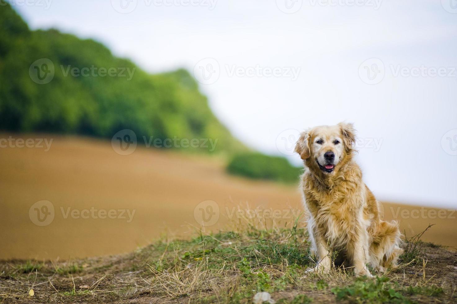 obéissant vieille femelle golden retriever assis à l'extérieur dans un champ photo