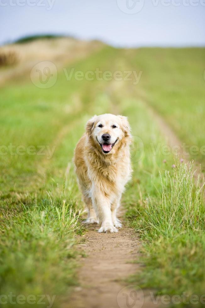 Beautiful Golden Retriever Running Towards the Camera photo