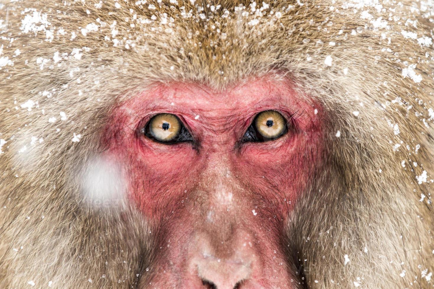snow monkey photo
