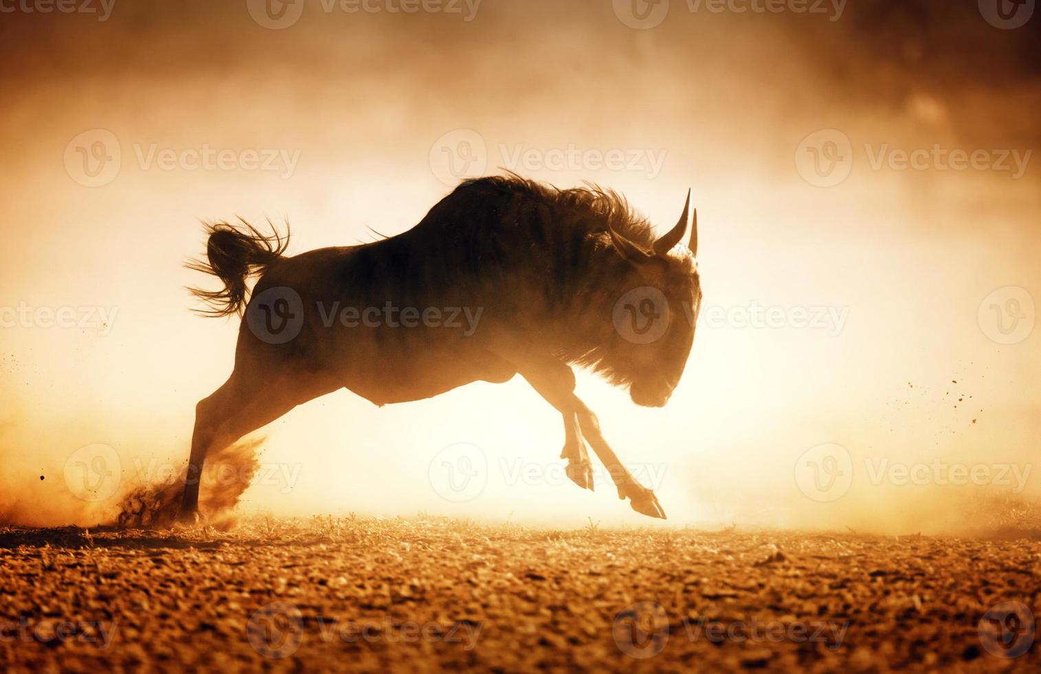 Blue wildebeest running in dust photo