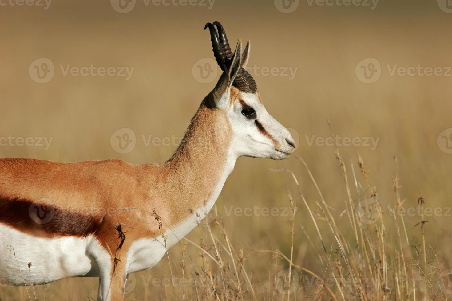 antílope springbok foto