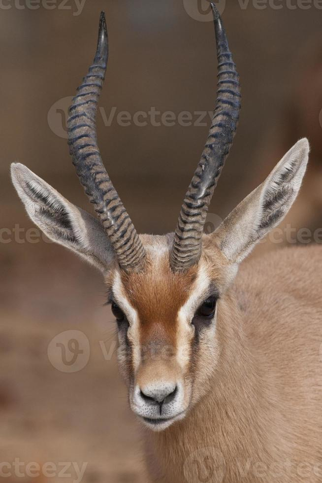 retrato de gacela dorcas foto