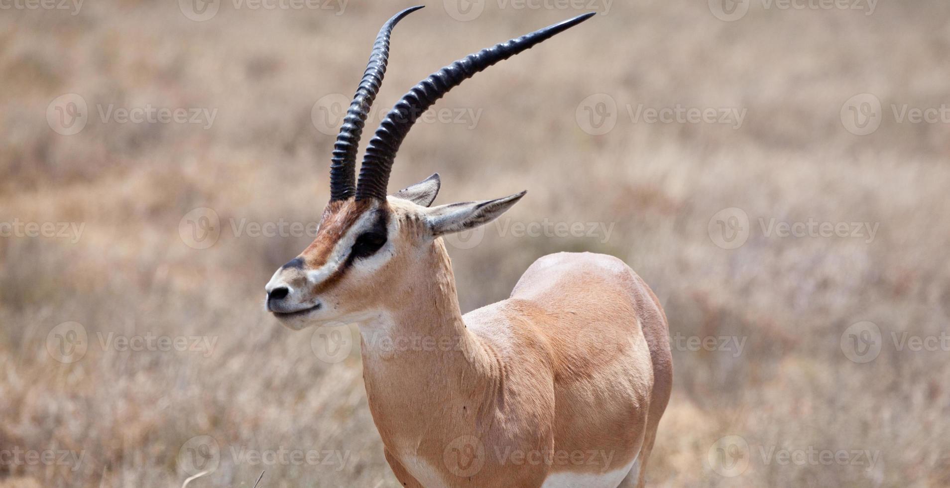 Grant's Gazelle photo