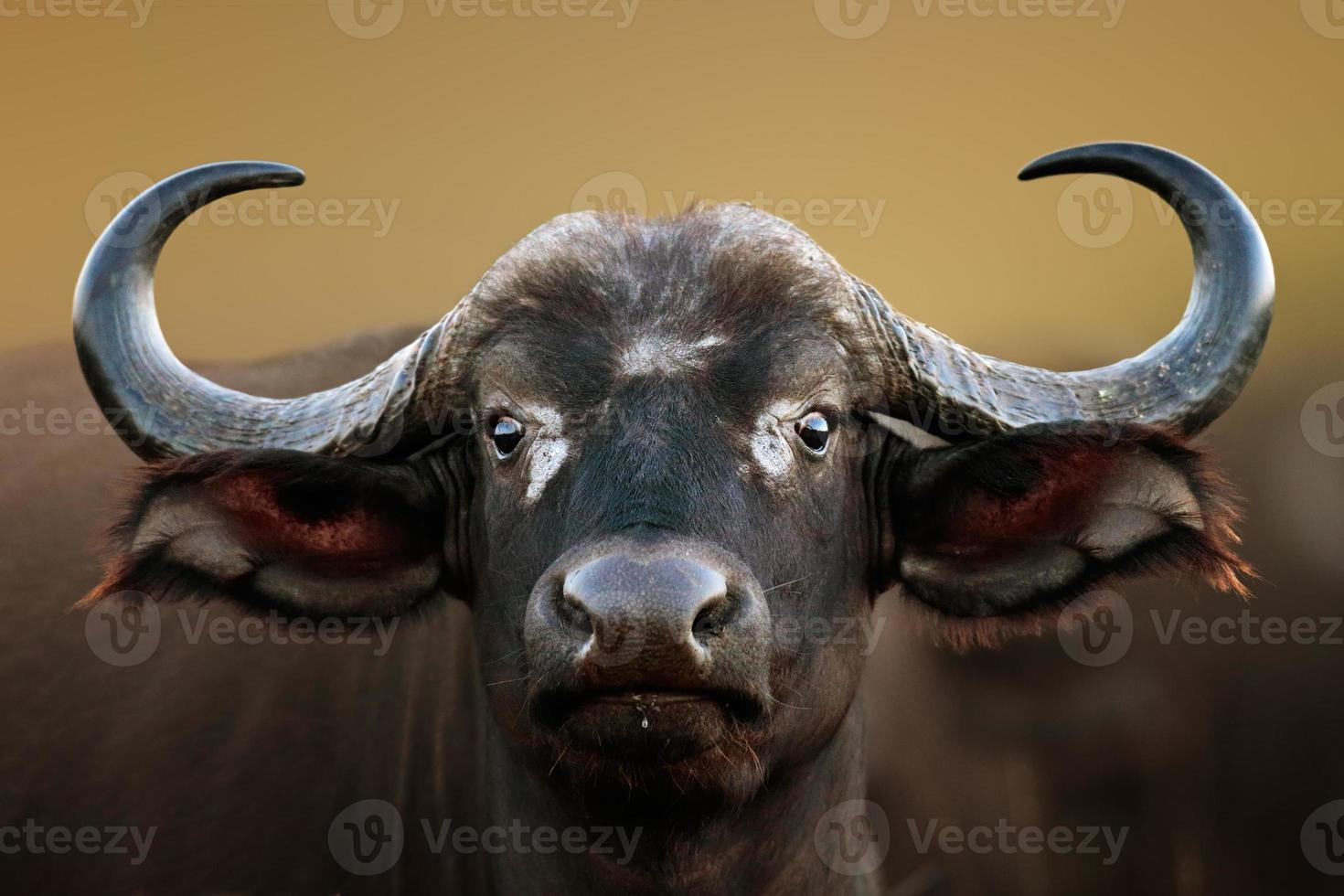 African buffalo Cow Portrait photo
