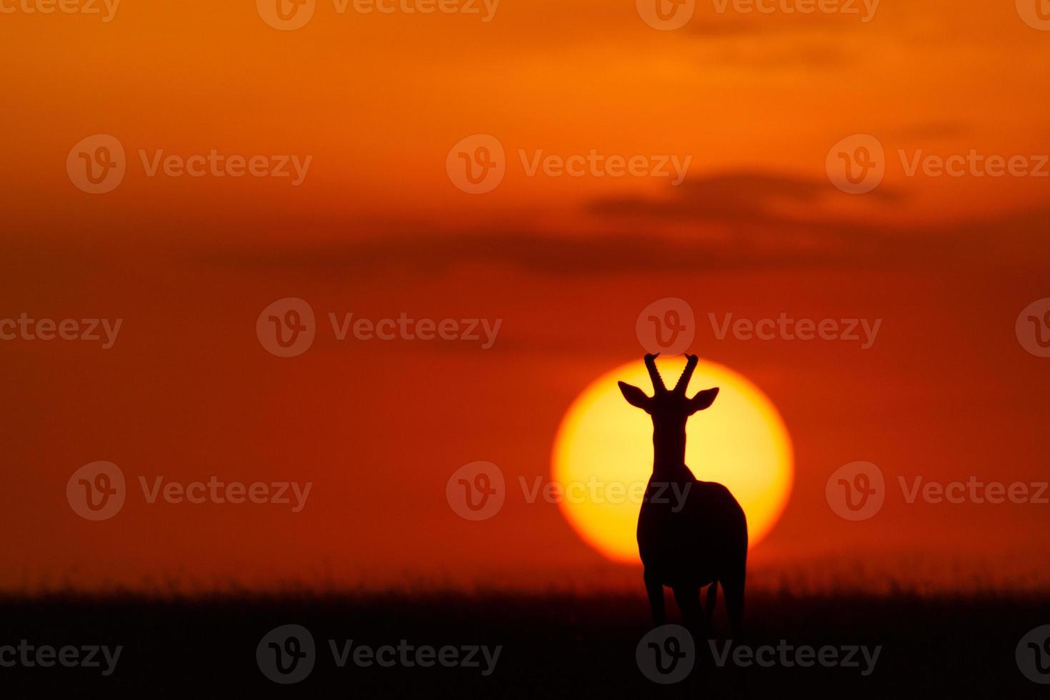 Topi silhouette photo
