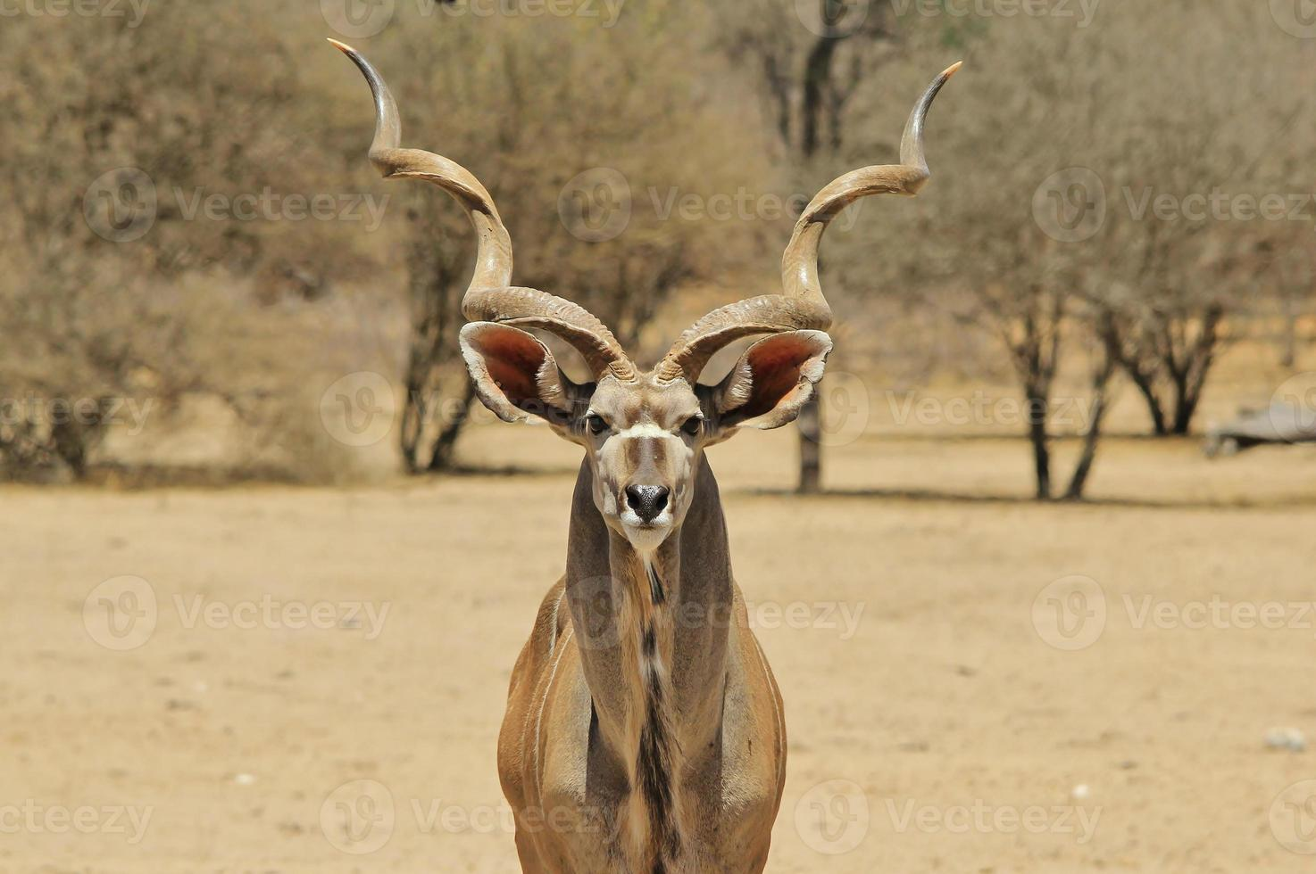Kudu Bull Pride - Wildlife Background from Africa photo