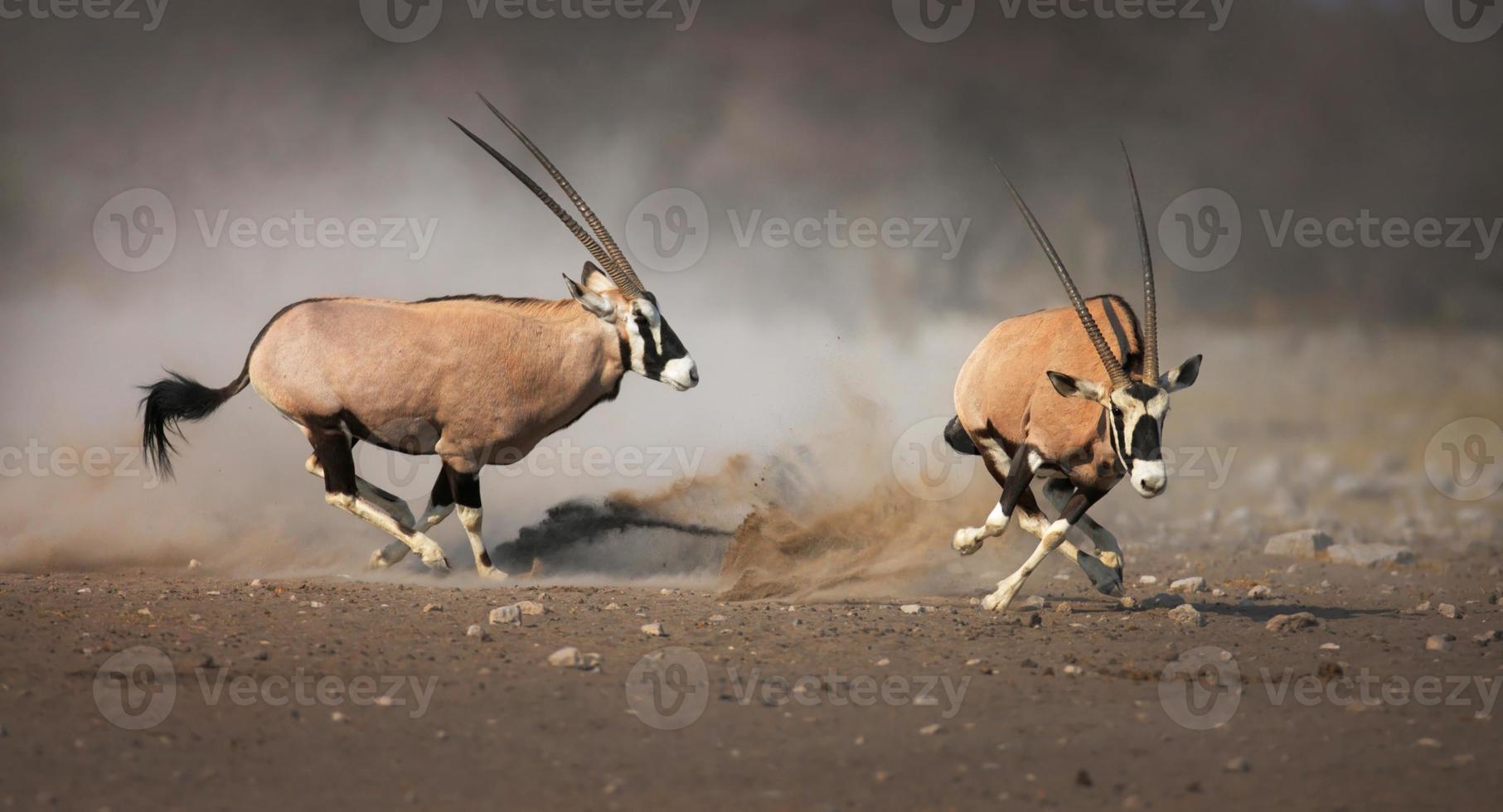 persecución de gemsbok foto