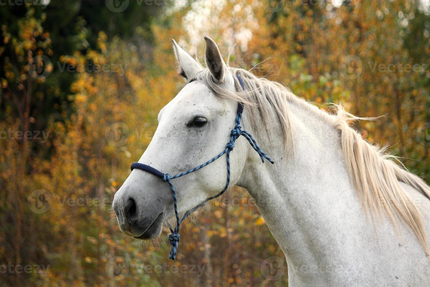 caballo blanco en el retrato del pasto foto