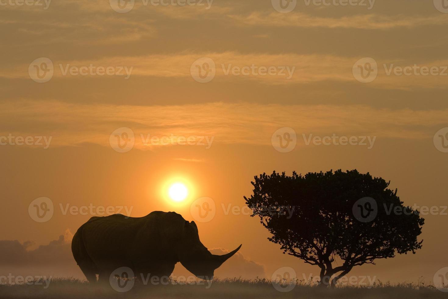 enorme rinoceronte de pie en la puesta de sol a un lado de un árbol de acacia africana foto