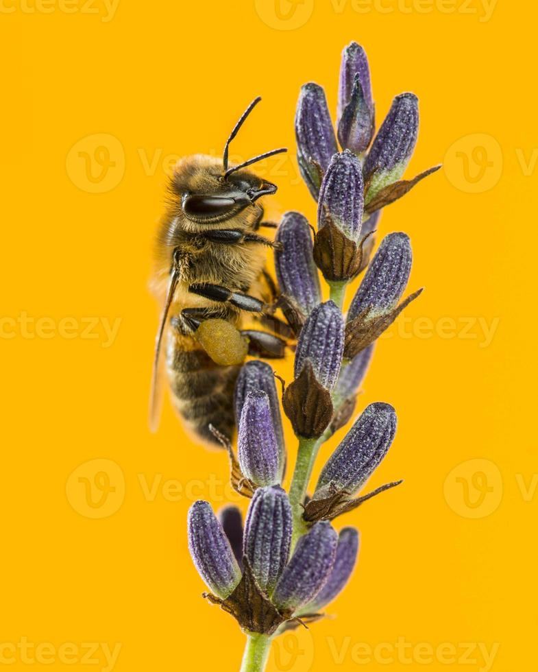 Honey bee foraging on a lavander photo