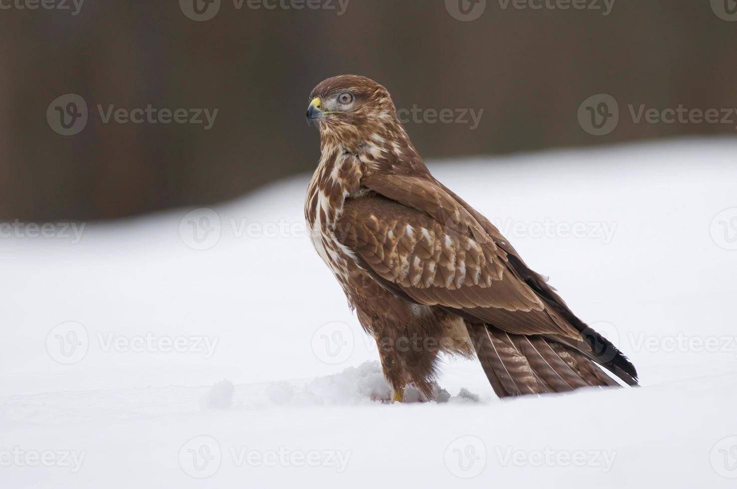 Common buzzard in winter photo