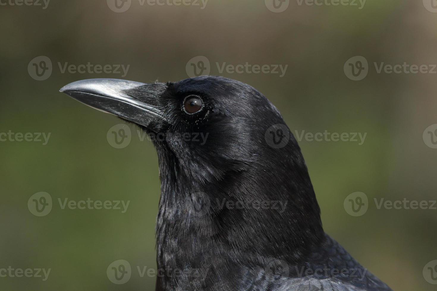 cuervo norteamericano foto