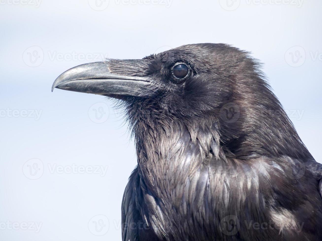 Krähenporträt foto