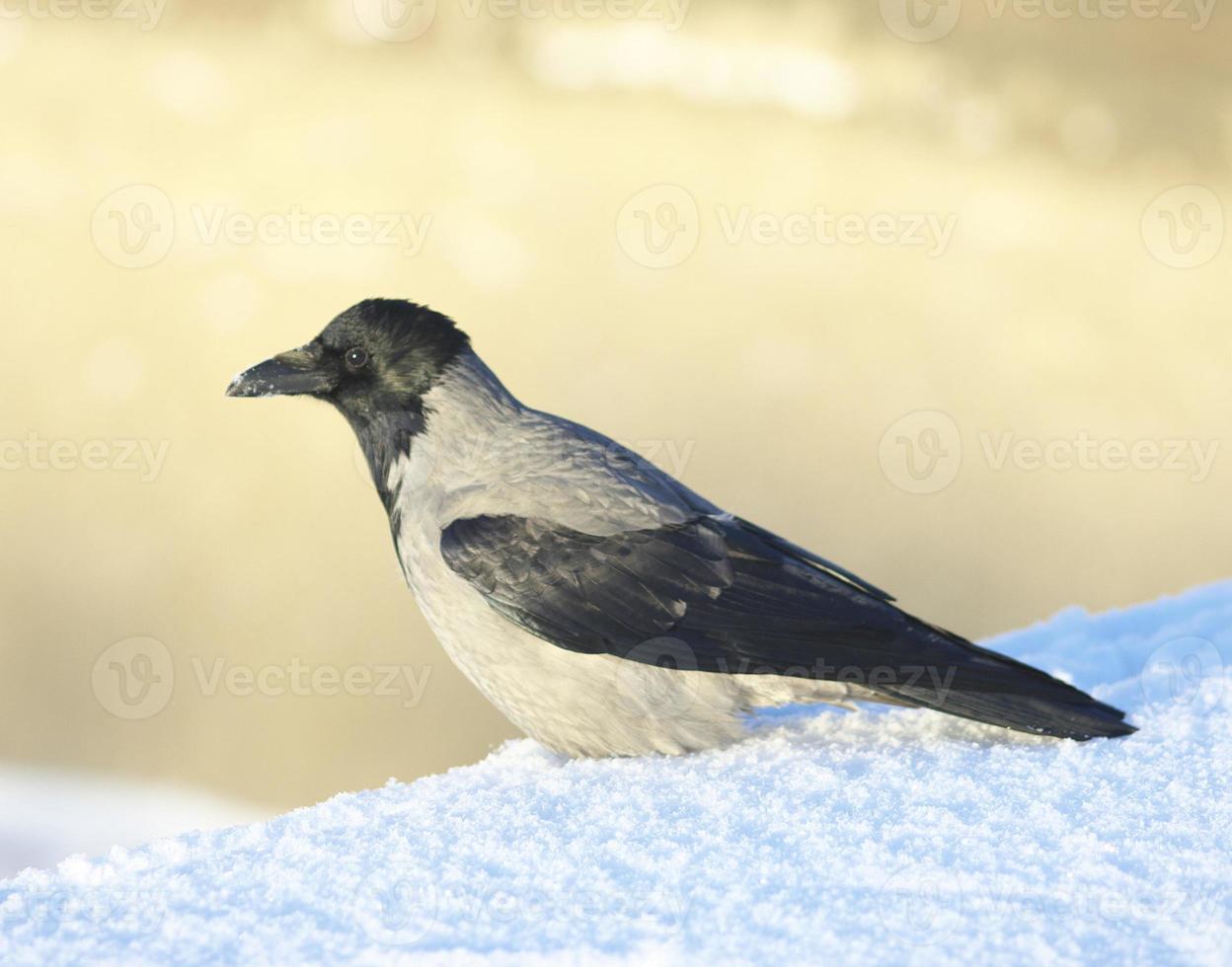 cuervo en la nieve foto