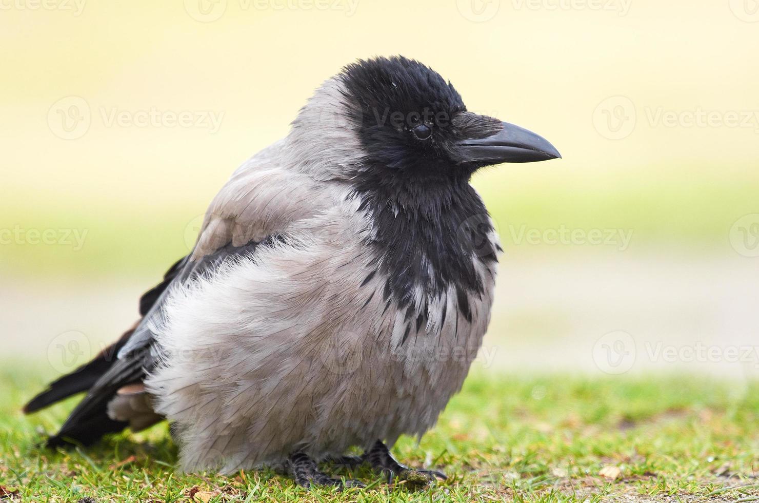 Hooded Crow (Corvus cornix) photo