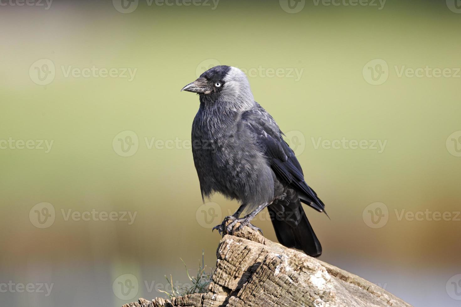 Jackdaw, Corvus monedula photo