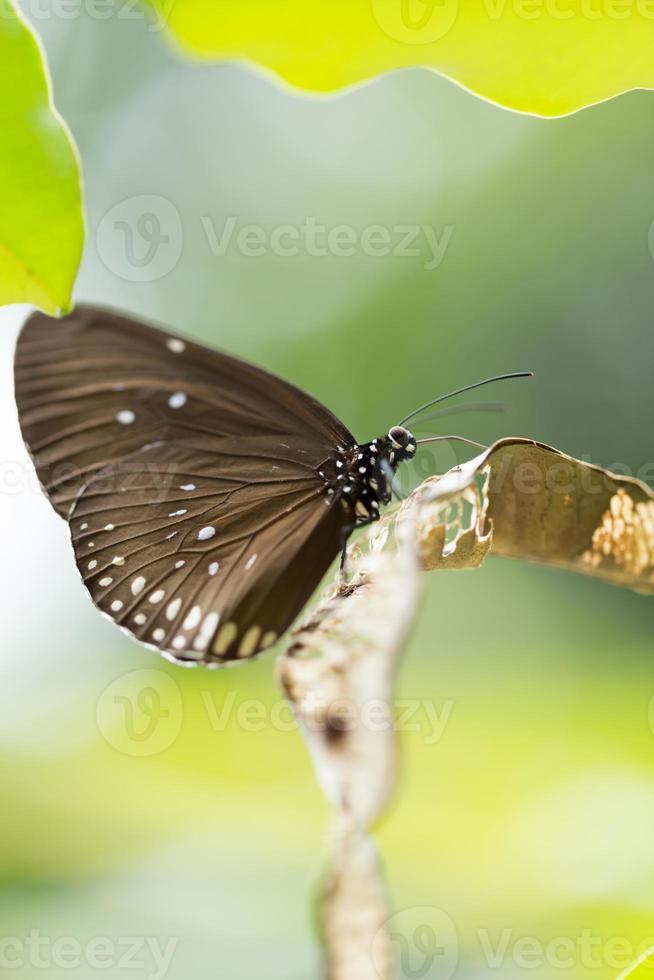 mariposa cuervo indio foto