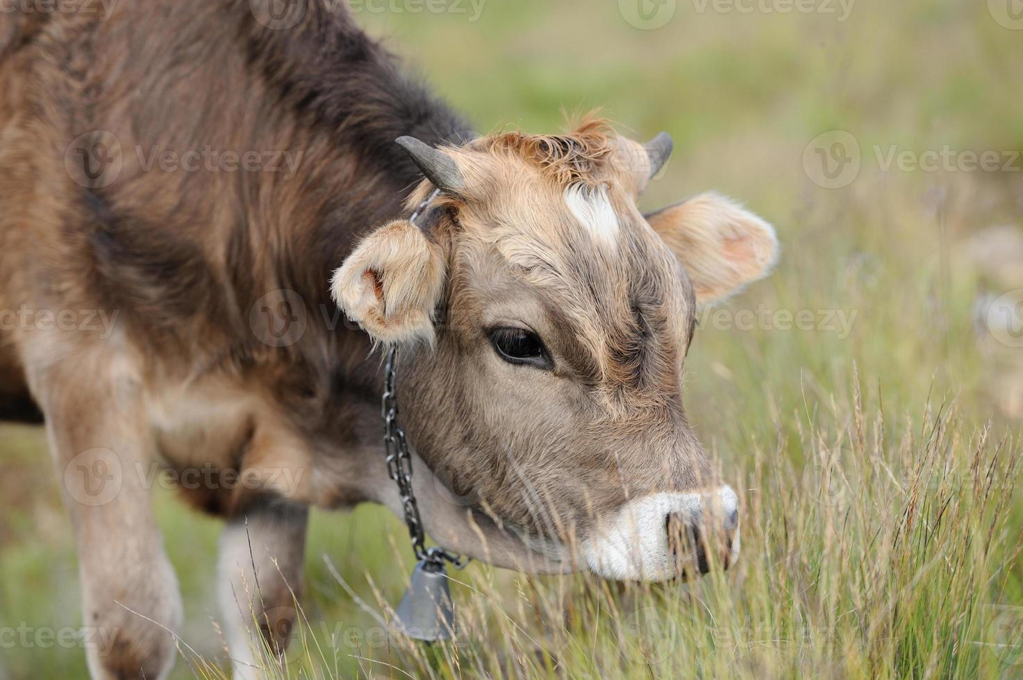 Cow in nature photo