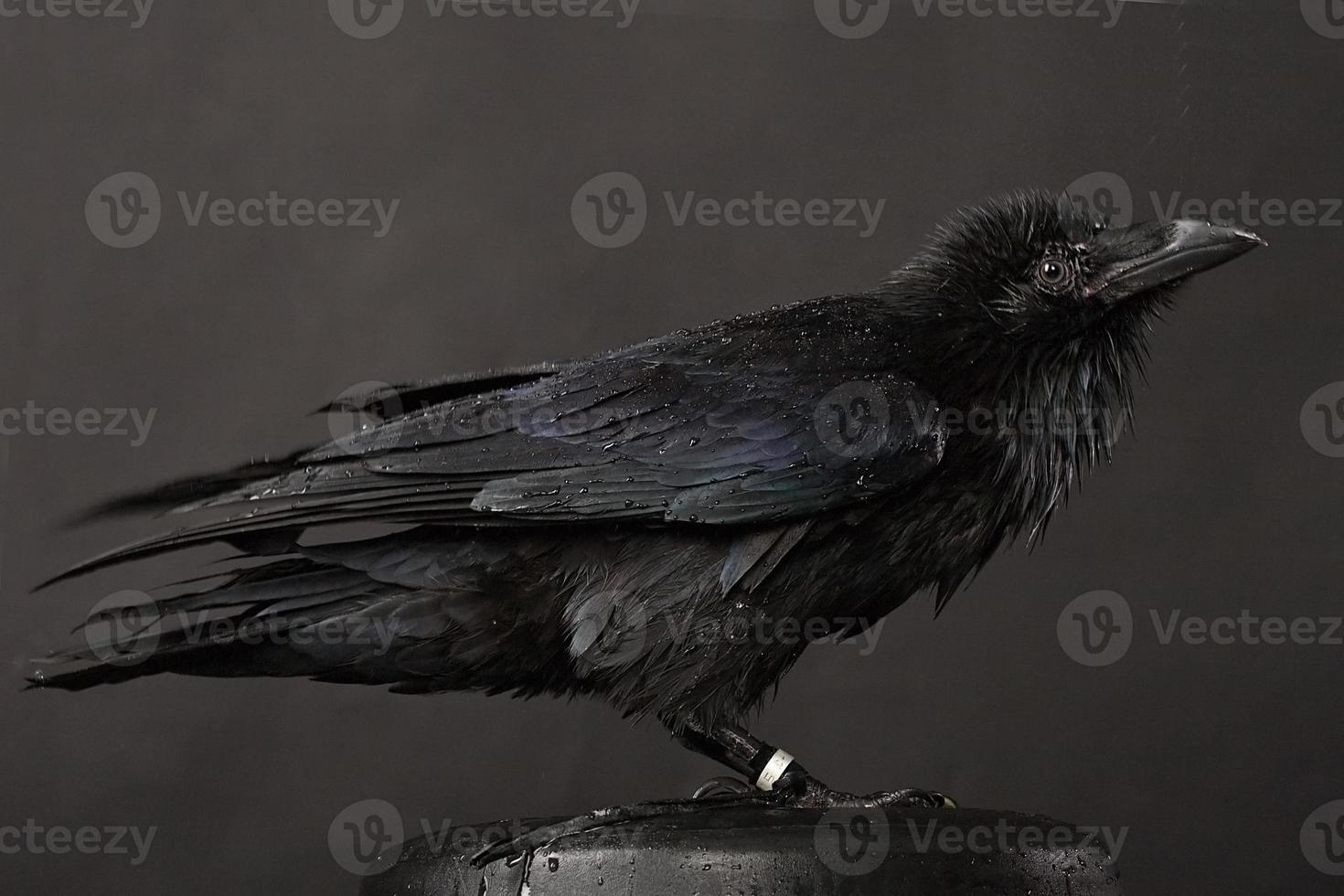 cuervo foto