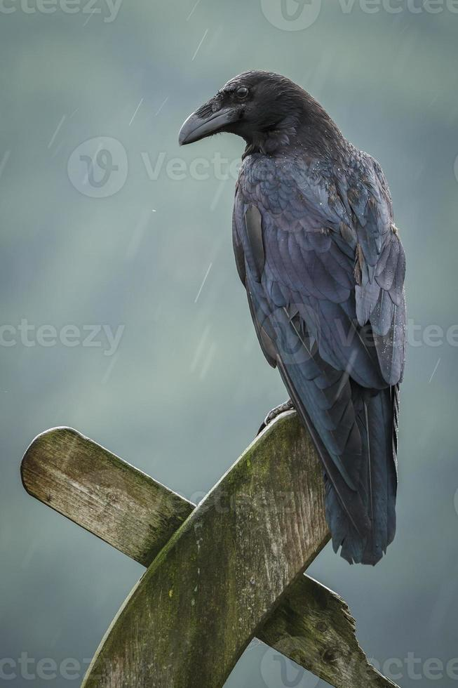 cuervo bajo la lluvia foto