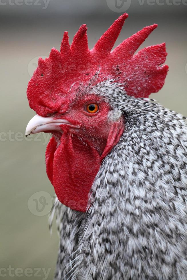Rooster on blurred background photo