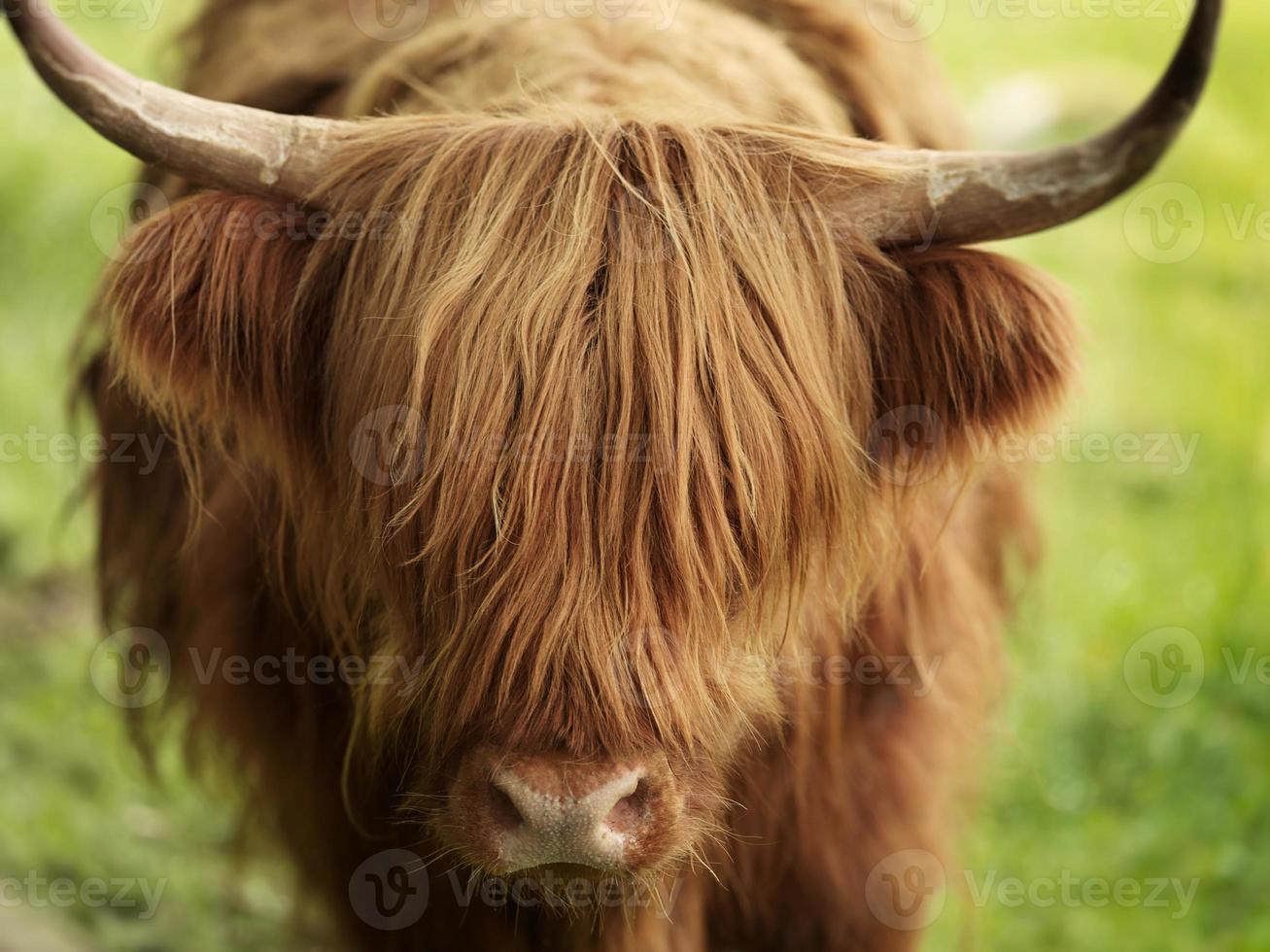vaca de las tierras altas foto