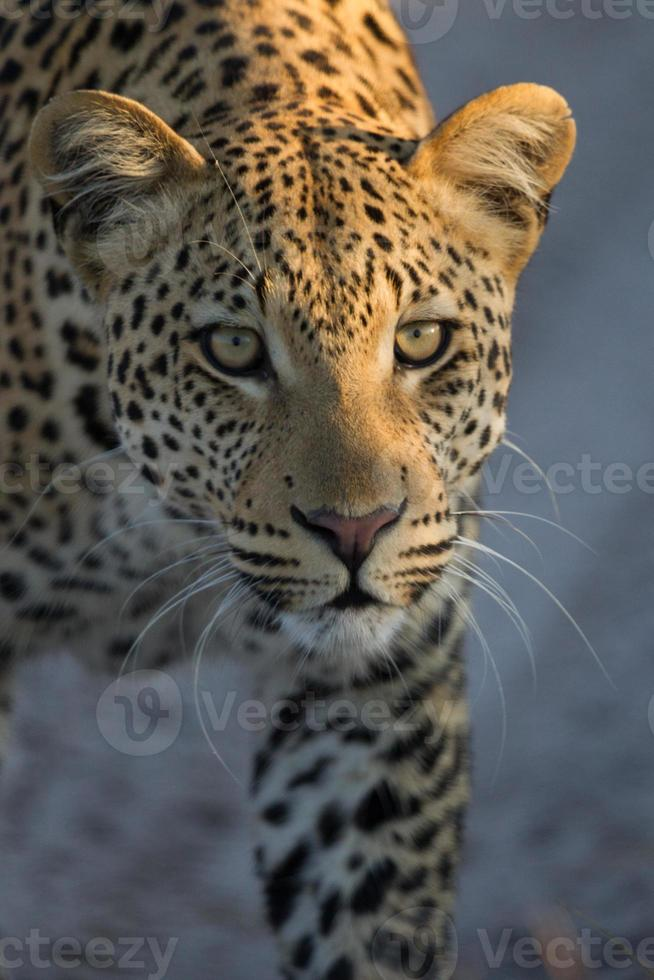 perseguição de leopardo foto