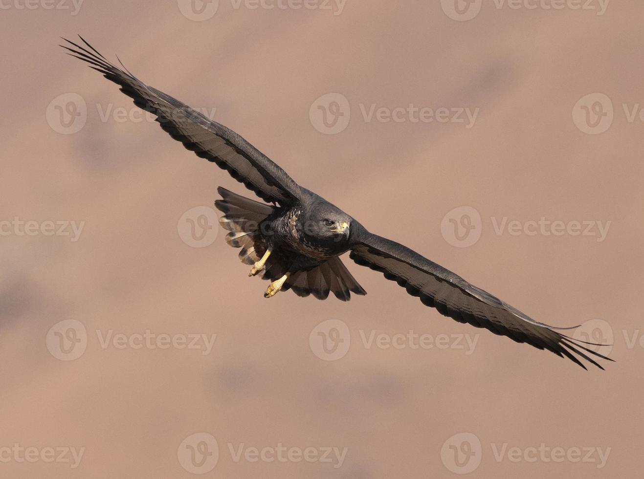 urubu chacal voando foto