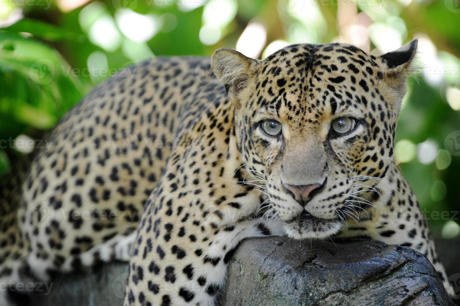 léopard photo