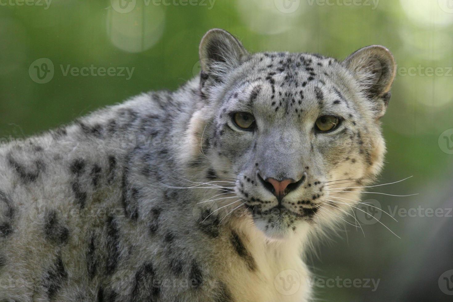 retrato de leopardo da neve foto
