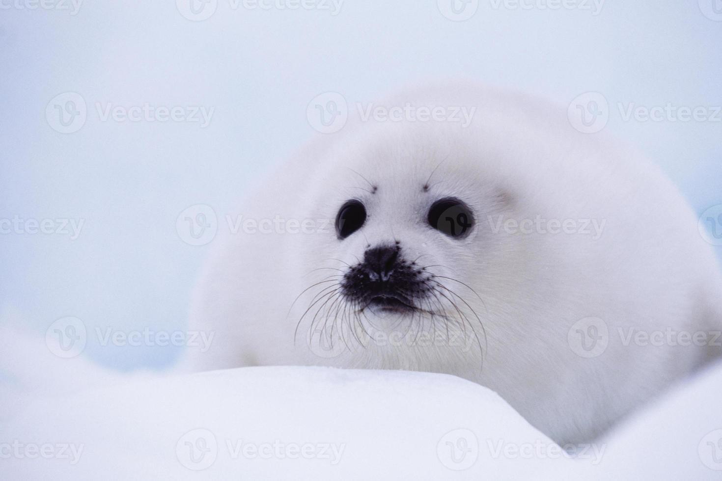cría de foca foto
