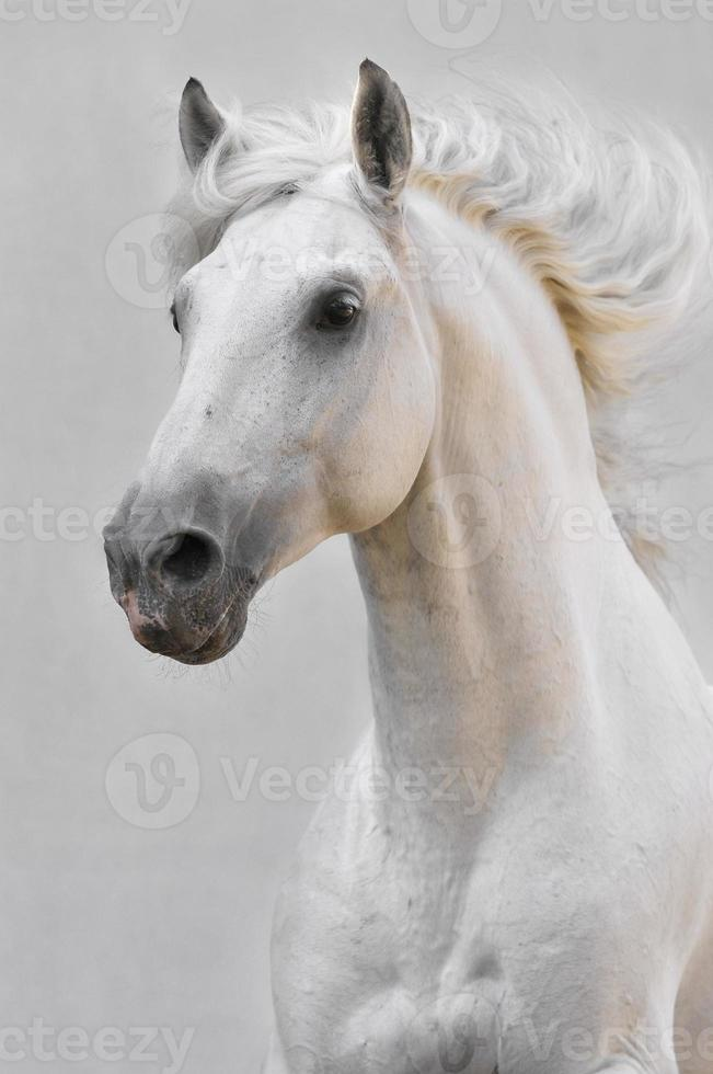white horse stallion isolated on the gray background photo