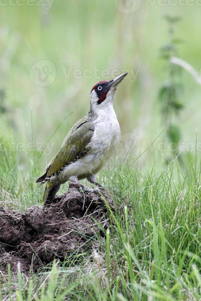 Green woodpecker, Picus viridis photo