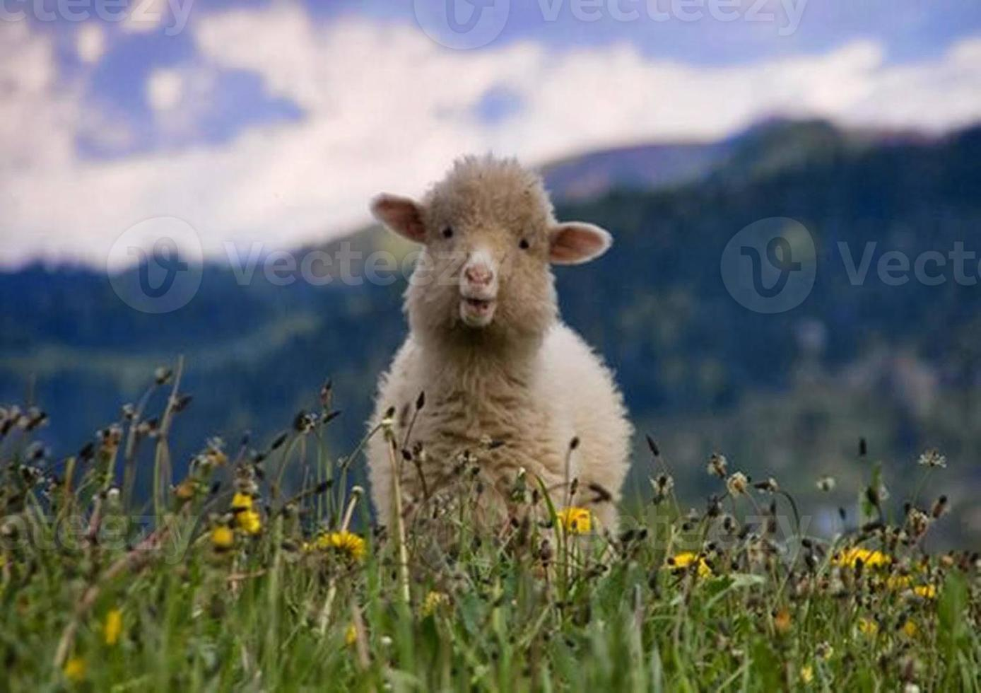 Baby sheep photo