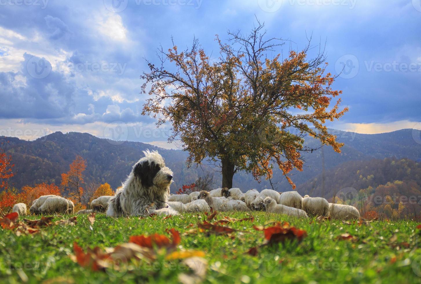 corderos en otoño foto