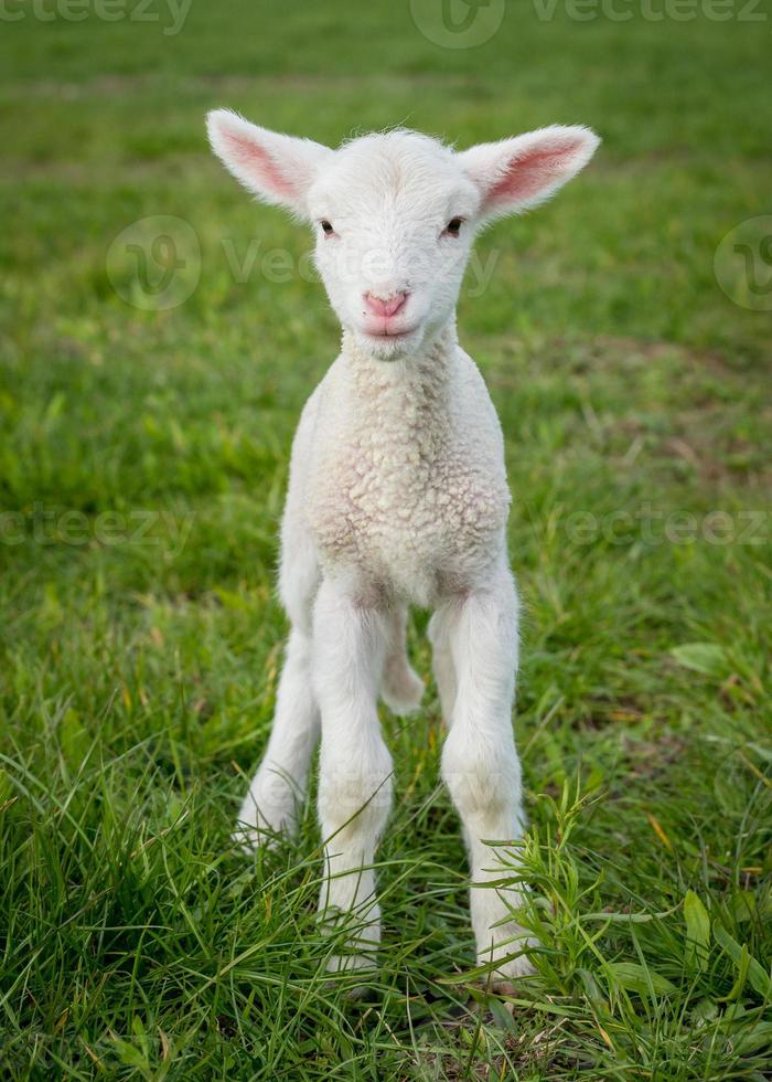 lamb3 photo